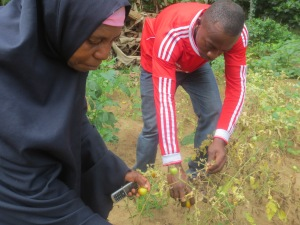 Ali Abeid's mother helps out picking tomatoes on Ali's shamba.